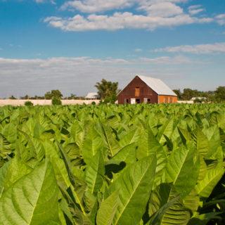 partagas_tabakplantage_06