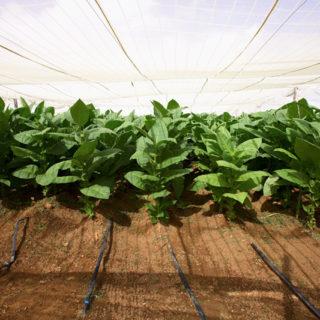 partagas_tabakplantage_07