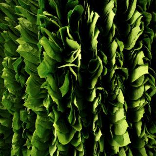 partagas_tabakplantage_08