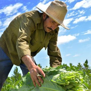 partagas_tabakplantage_03