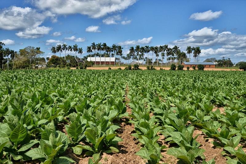 partagas_tabakplantage_09