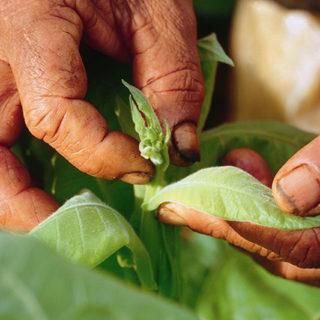 partagas_tabakplantage_05